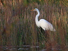 Great Egret 2-20161205 (Kenneth Cole Schneider) Tags: florida miramar westbrowardwca