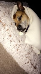 #dog #black #white #grey #tan #squished #aesthetic #love #focus #whiskers #eyes #nose #blanket (laurenbridge12) Tags: dog black white grey tan squished aesthetic love focus whiskers eyes nose blanket
