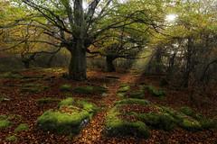 A moment of light (Rafael Dez) Tags: espaa burgos montesantiago hayedo otoo hojas musgo sol rafaeldez filtro polarizador paisaje naturaleza arboles