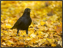 Carrion Crow (CliveDodd) Tags: carrion crow corvus corone leaf litter