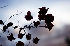 Silhouette as the Sun Disappears (F.emme) Tags: flowers pink sunset smcpentaxa smcpentaxa50mm 50mm bougainvillea