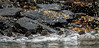 In a Rush (Rick Derevan) Tags: alaska bird commongoldeneye duck goldeneye kodiak bucephalaclangula