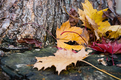 Fabulous Fall (Marcy Leigh) Tags: fall fabulous fabulousfall nature leaf leaves colorful stump bark tree outdoor outdoors 116picturesin2016 takeahikeday takeahike