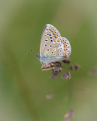 Hauhechel-Blauling (Polyommatus icarus) 001 (bertheeb) Tags: hauhechelbluling blulich tagfalter falter