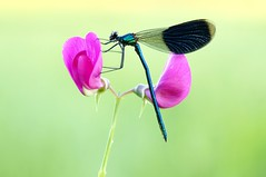 Nature of love... (Zbyszek Walkiewicz) Tags: sony insects dragonfly
