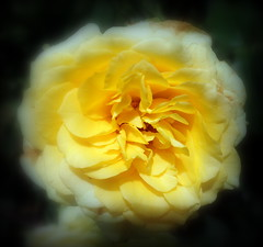 You don't have to dig, Gold is everywhere! (joyteale) Tags: flowers gold yellow blooming garden hybridtearose