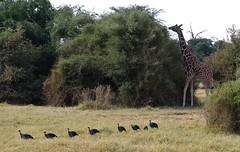 A Reticulated Giraffe follows a line of Vulturine Guineafowl - Samburu, Northern Kenya. (One more shot Rog) Tags: giraffe reticulatedgiraffe guineafowl vulturineguineafowl blues birds samburu africa safari kenya samburunationalpark wildlife natute