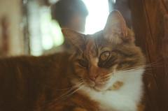 Menininha 1 (dvasconcellos27) Tags: exakta zeiss slr analog filmisnotdead filmisalive filmphotography kodak colorplus capucho riodejaneiro brasil brazil cat catportrait pet animal