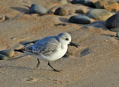 Sanderling. (Olive Taylor. Thank you for your visit.) Tags: sanderling beach blyth feathers beaks wildlife sea nature northumberland northeastengland
