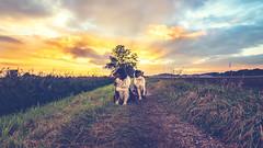 Little Souls (Bokehsüchtig (ON/OFF)) Tags: aussie australianshepherd shepherd bordercollie hütehund bluemerle blacktri workingdog dog canine hund animal tiere sonnenuntergang feld weitwinkel wideangle sunset sundown clouds colors matte colours sonya7m2 sonya7 sal1635z2