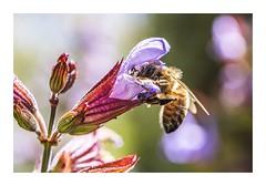 Bee-autiful (red stilletto) Tags: oceangrove bellarinepeninsula bee flower garden macro spring sage
