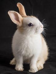 Latte (Rainfire Photography) Tags: rainfirephotography rabbit bunny portrait blueeyes cute fluffy adorable pet cream white