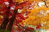 Autumn Trees (moaan) Tags: kobe hyogo japan jp autumn trees autumncolors autumnleaves fallcolors maple japanesemaple momiji leica mp leicamp type240 noctilux 50mm f10 leicanoctilux50mmf10