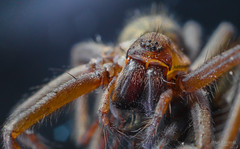 Spider - Eye to eye (Zaphod Beeblebrox 1970) Tags: 2016 makro spinne spinnen animal closeup insect insects macro spider spiders