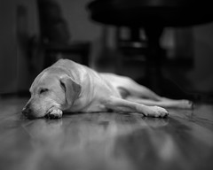 Long Nap (macromary) Tags: fomapan iso100 analog 120 120film mediumformat florida fortmccoy marion county griffinranch ranch marioncounty 105mm f24 pentax 6x7 cabin cabininthewoods carliescabin dog labrador yellowlab labradorretriever