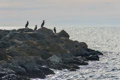 Cormorans (jeanmichelchuiche) Tags: cormoran oiseaux mer vias france plage hiver