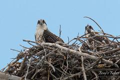 Juvenile Osprey in their nest