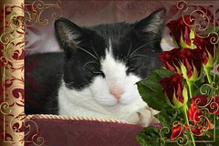 Charles Framed With Red Roses 001 (Chrisser) Tags: cats ontario canada nature animal animals cat ourcatcompanions crazyaboutcats kissablekat kissablekats bestofcats kissablekitties kissablekitty loonapix canoneosrebelt1i bicolouredshorthaired canonef75300mmf456iiiusmlens