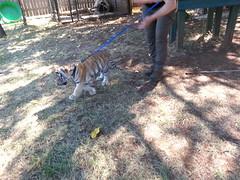 20150919_120606 (mjfmjfmjf) Tags: oregon zoo tigercub 2015 greatcatsworldpark
