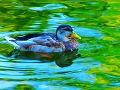 Stockente, Erpel (zikade) Tags: wasser grn farbe reflexion erpel stockente wildente seegartenamorbach