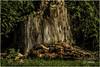 Himley Hall_09 (arw49) Tags: park stilllife tree green grass canon dead fungi stump