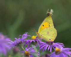 Do I have collision coverage? No, should I? (KsCattails) Tags: flower macro fall nature yellow butterfly insect nikon purple blossom accident outdoor bee aster collision jccc d3100 kscattails