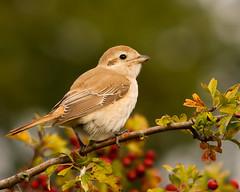 Isabelline Shrike-82A7365 (kevinmayhew62) Tags: birdwatcher laniusisabellinus