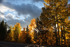 Sunlight on Aspens