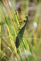 Mante religieuse - Mantis religiosa (Mathias Dezetter) Tags: wild macro nature animal mantis insect wildlife praying animaux puy auvergne insecte sauvage faune mantes prdateur arthropode invertbr