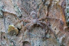 Laufspinne (Philodromus fuscomarginatus) Mnnchen, subadult - Gre ca. 4 mm (AchimOWL) Tags: macro nature animals insect tiere spider wildlife natur spinne makro insekt tier raynox gx7