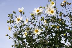 Good morning sunshine (Ang1852) Tags: morning flowers blue white sunshine