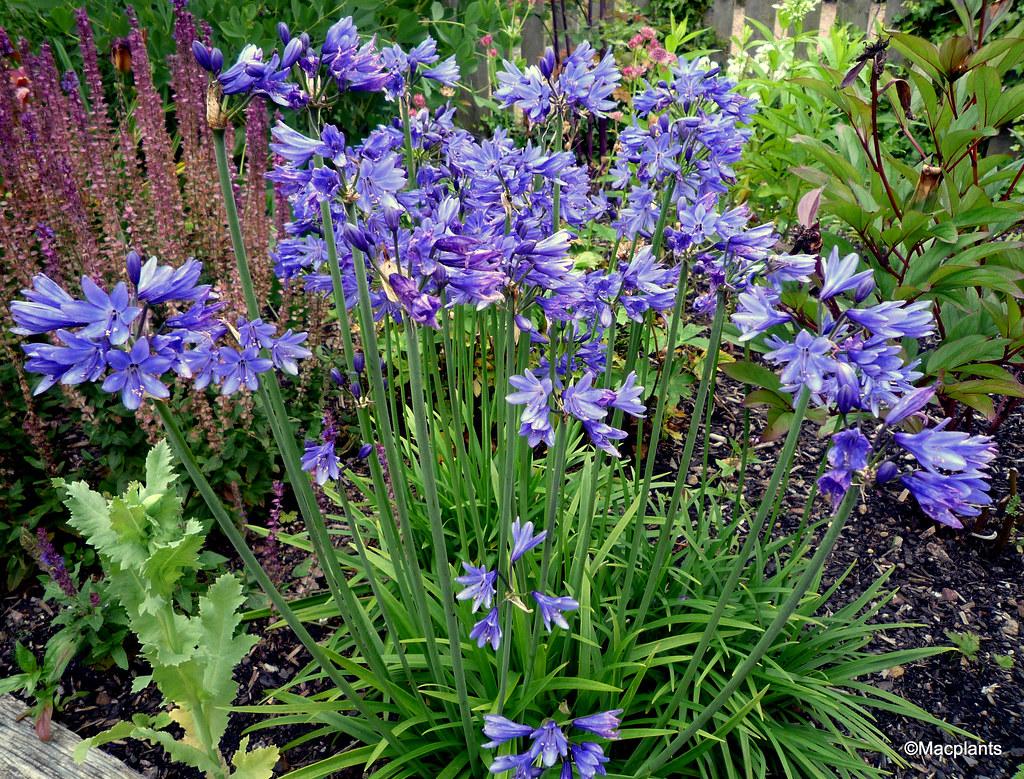 Agapanthus 'Lilliput'