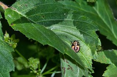 2015 Plant Beetle 2 (DrLensCap) Tags: county railroad plant chicago abandoned robert forest bug way insect spur illinois woods track pacific district union beetle cook trails right il trail rails to preserve kramer weber preserves labagh of