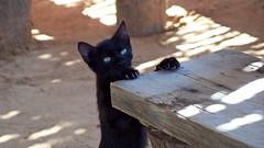 Here I am (Fabio Enrico Spagnoli) Tags: pet black animal cat puppy spy felino gatto sedia claws pelo cucciolo arrampicata trave appeso panca baffi gattonero eccomi artigli spiare nascondersi ostacolo arrampicarsi