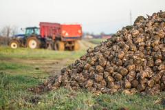 3U4A1465 (Bad-Duck) Tags: vinter traktor mat hst ker stuka newholland kvll skrd flt jordbruk lantbruk rstid livsmedel sockerbetor fltarbete livsmedelsproduktion
