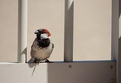 sparrow (jbardini@yahoo.com) Tags: