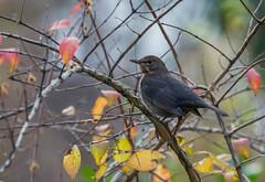 Merle noir (JeanJoachim) Tags: bird pássaro aves turdusmerula fugl oiseau vogel uccello ptak fågel lintu passeriformes turdidae птица commonblackbird merlenoir バード smcpentaxda300mmf4edifsdm lacdepuydarrieux pentaxk5iis