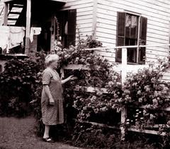Mrs. Pulis & her roses on Wash Day (JFGryphon) Tags: roses fence stairway porch 1935 washday clothesdrying nextdoorneighbor ansonmcnish mrspulis