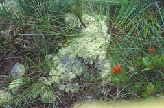 "Angavokely Lichen, Lucile_052.jpg • <a style=""font-size:0.8em;"" href=""http://www.flickr.com/photos/134534957@N02/23631103979/"" target=""_blank"">View on Flickr</a>"
