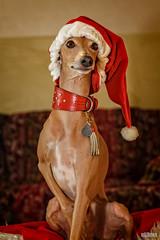 Pino - Italienisches Windspiel (ulibrox) Tags: christmas dog greyhound weihnachten hund pino haustier tier italiangreyhound windhund italienischeswindspiel