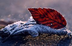 Die Bltter frieren aneinander fest und sonst sieht auch alles wie in einem kitschigen Film aus. (Manuela Salzinger) Tags: morning winter ice sunrise bayern bavaria frost eis sonnenaufgang morgen raureif niederbayern whitefrost lowerbavaria
