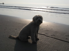 millie-on-her-vacation-to-the-beach--shes-one-of-lilly-and-chewys-little-girls-_3828016493_o
