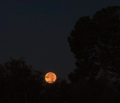 Setting supermoon, November 14 2016 (Distraction Limited) Tags: aleppopine pinushalepensis beavermoon frostmoon moonset fullmoon moon luna moonillusion supermoon tucson arizona earthnaturelife
