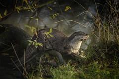 European Otter Lutra lutra (barriebrown) Tags: europeanotter nativemammals mammals lingfield lingfieldwildlifecentre nature lnpg natureandnothingelse