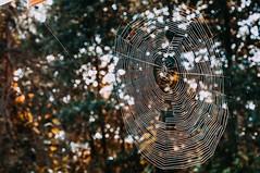 Spinnwebe (januwas) Tags: polska poland polen jesie jesie spiders web spinnwebe autumn