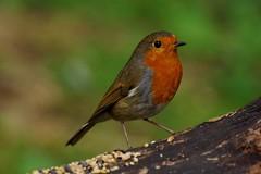 IMGP3351 Robin, Barnwell C. P., October 2016 (bobchappell55) Tags: robin naturereserve wildlife wild bird barnwellcountrypark north northamptonshire