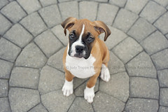 Demsey (dog ma) Tags: demsey fawn boxer pup puppy cute adorable pet portrait dog ma jodytrappephotography nikon d700 nikkor 50mm