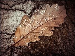 Oak Leaf (Darren Wilkin) Tags: fcbs lakedistrict oakleaf oak leaf water droplets arty airaforce rock cumbria