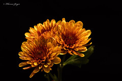 Autumn Blooms 1003 Copyrighted (Tjerger) Tags: nature autumn black blackbackground blooms brown bunch closeup fall flora floral green group macro orange plant portrait three trio wisconsin yellow mums natural