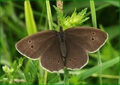 Ringlet Basking (glostopcat) Tags: ringletbutterfly butterfly insect invertebrate glos summer butterflyconservation prestburyhillnaturereserve
